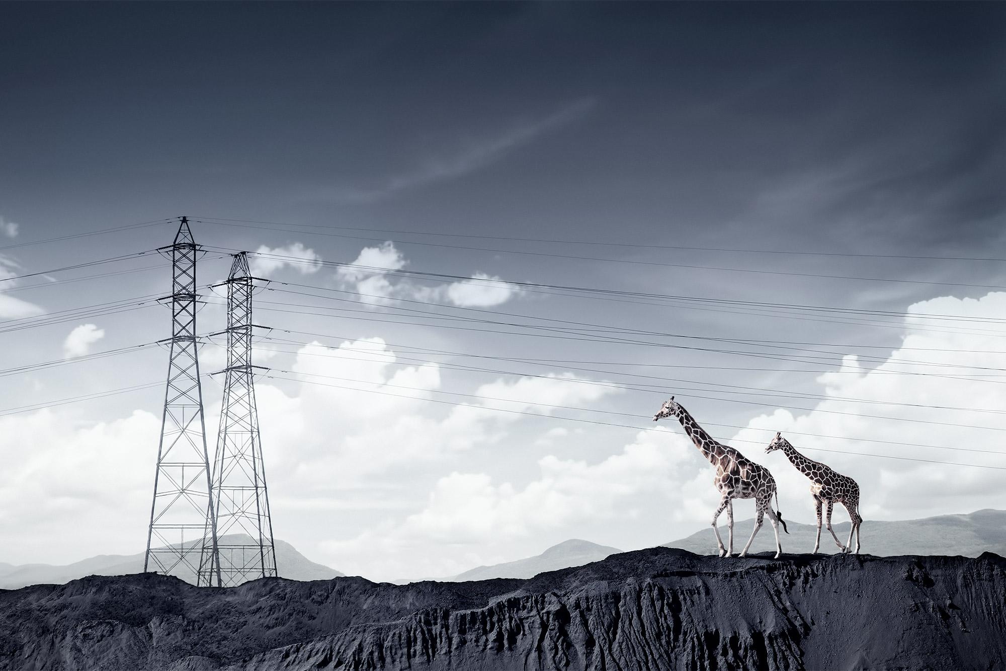 Chris Clor giraffes and electric pylons