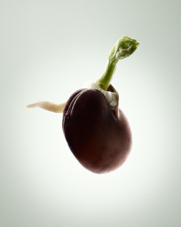Tal Silverman - broad bean seed