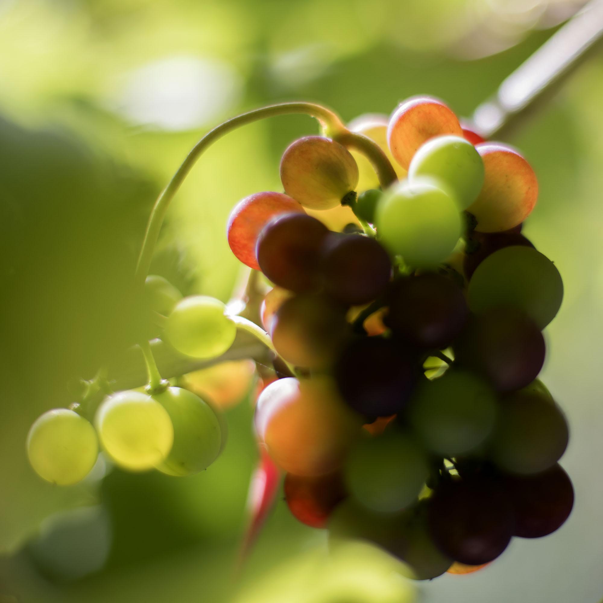 Roy Mehta grapes