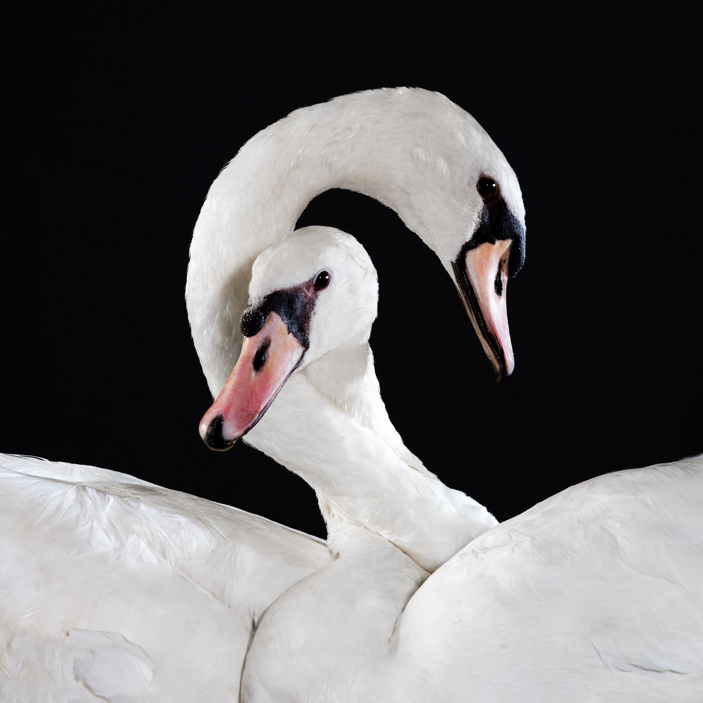 Tim Platt - Swans