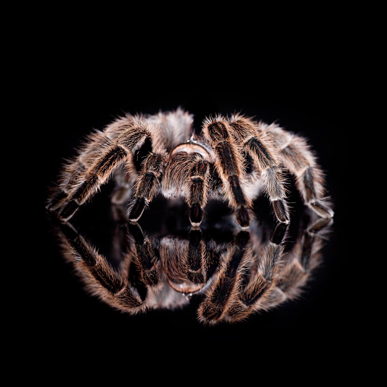 Tim Platt - Spider