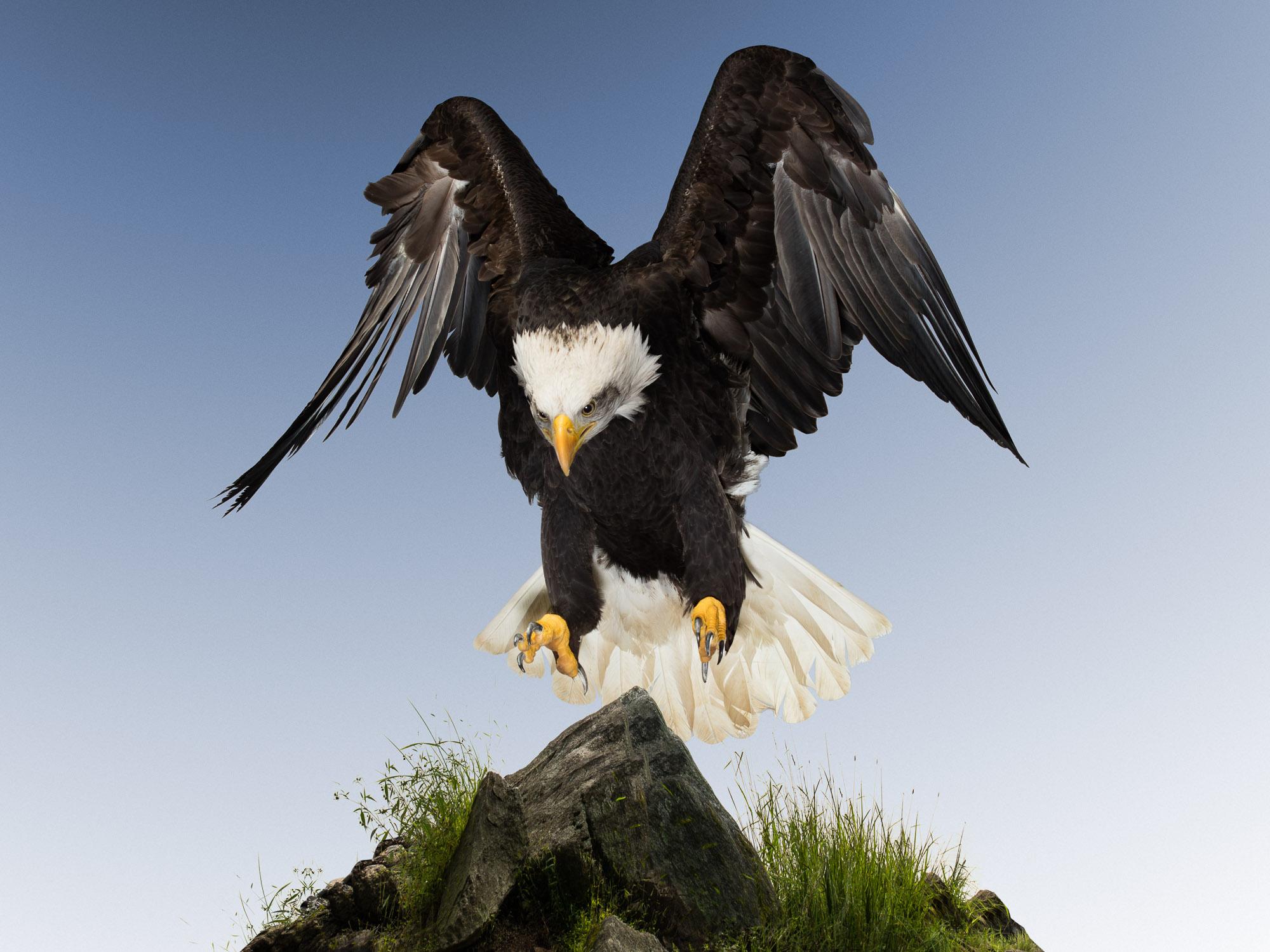 Tim Platt - Eagle