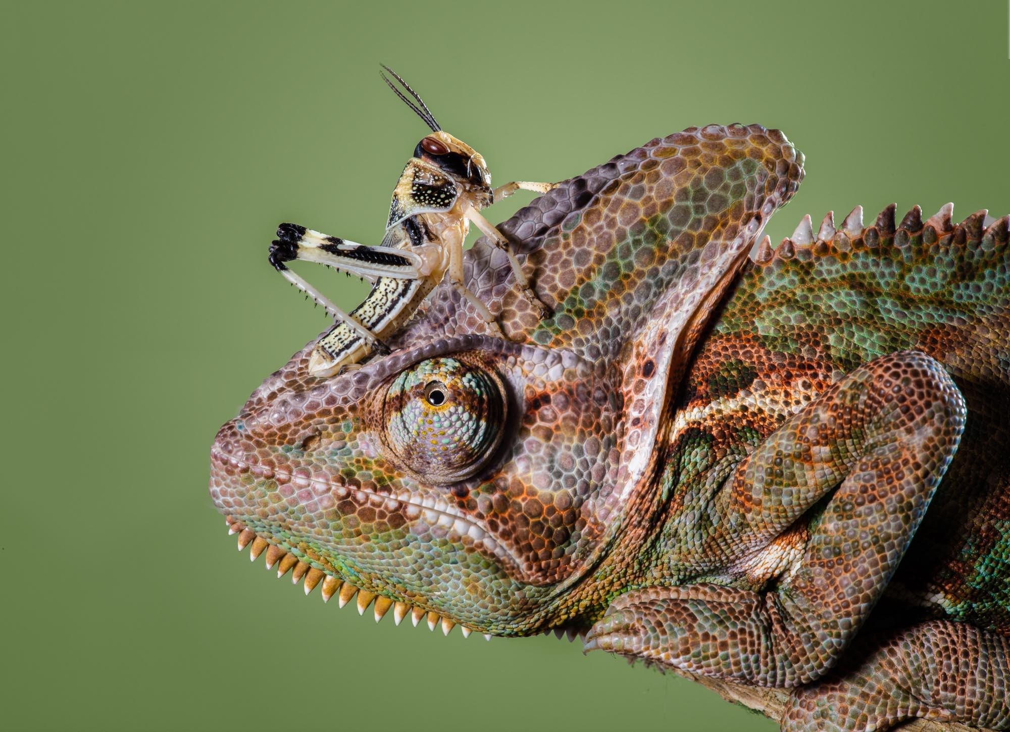 Tim Platt - Chameleon with grass hopper