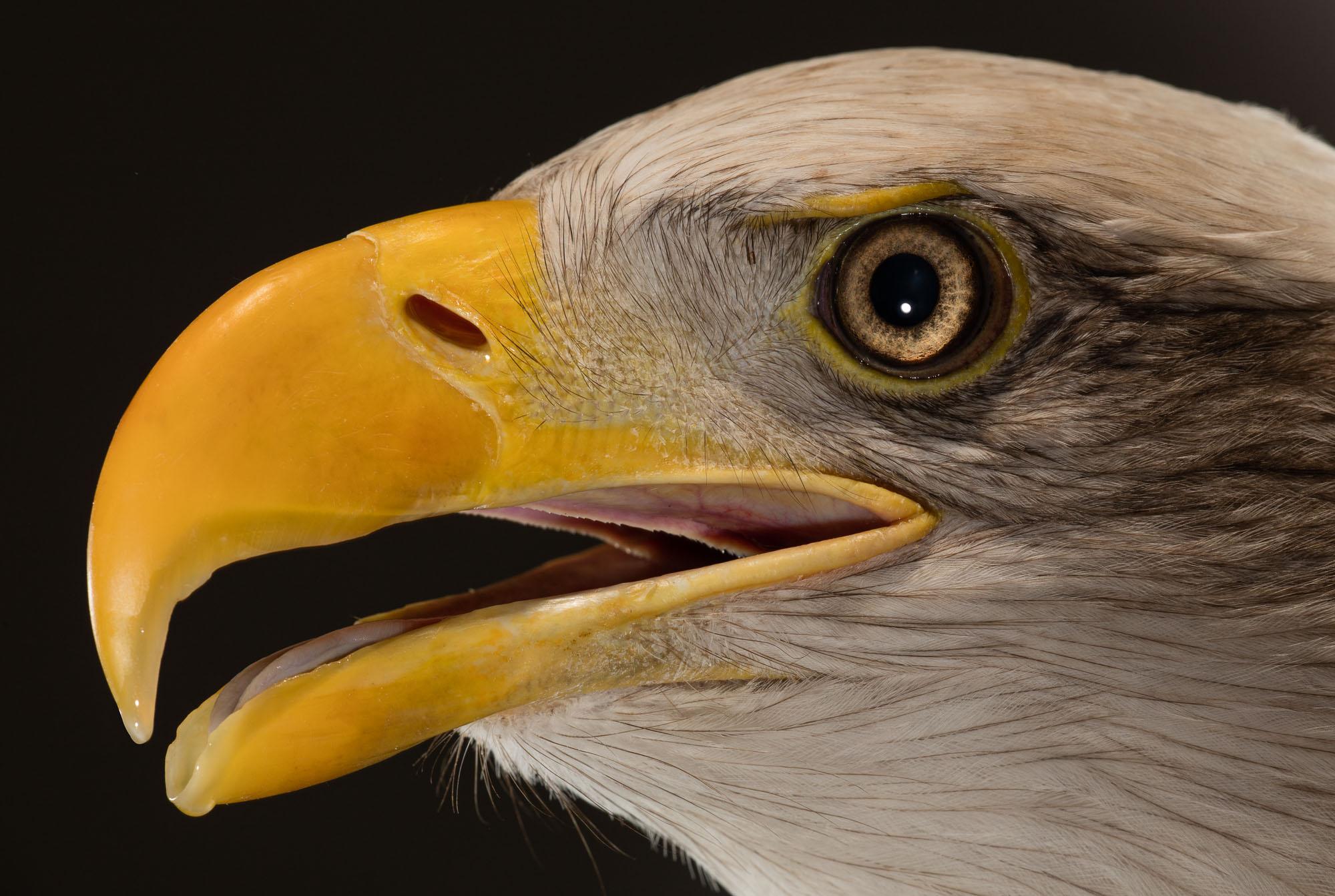 Tim Platt - Bird of Prey with yellow beak