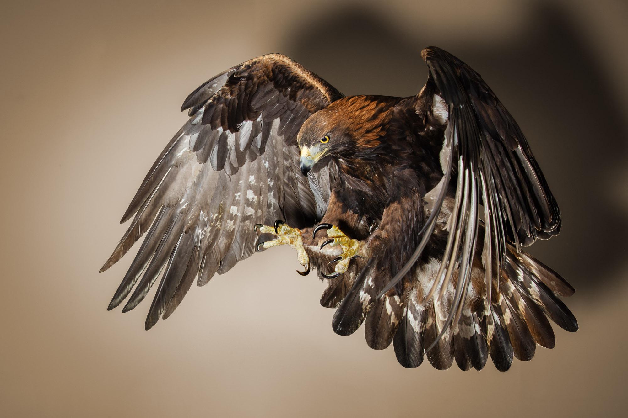 Tim Platt - Bird of Prey