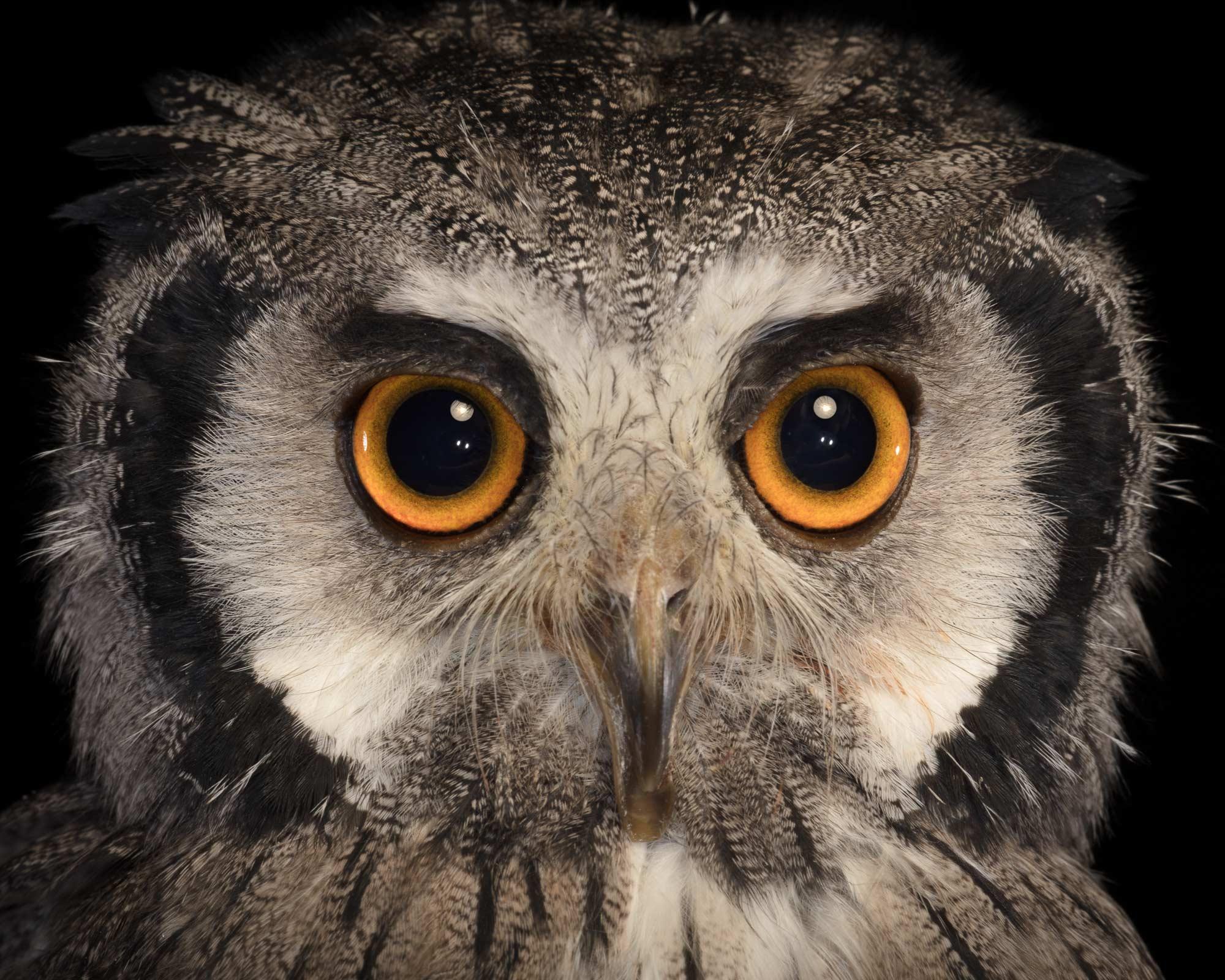 Tim Platt - Owl