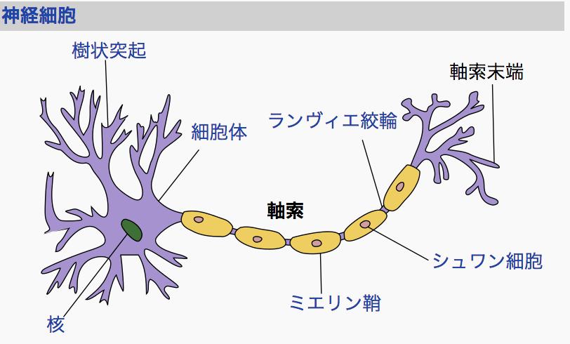 出典:Wikipedia 神経繊維