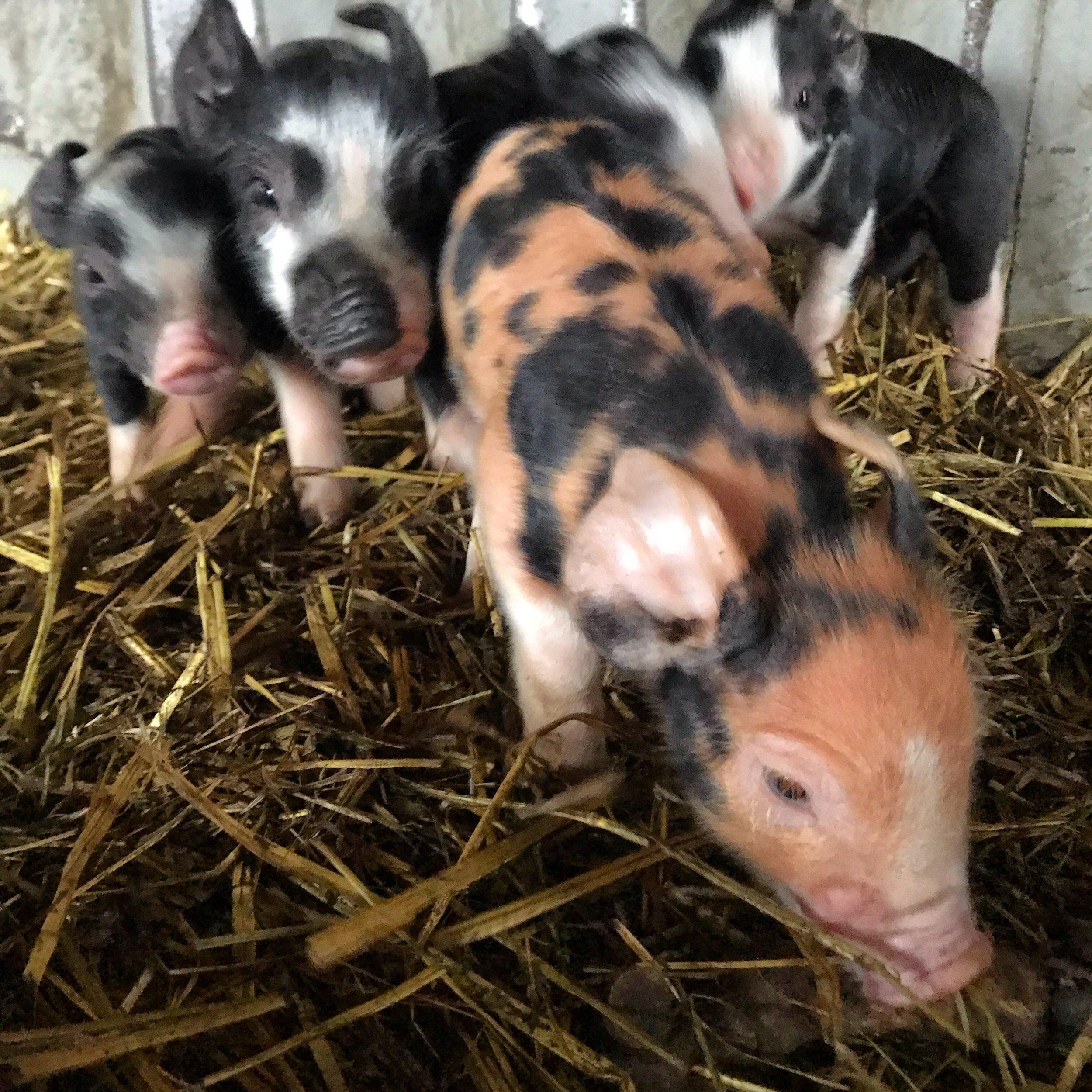 Penny Piglets