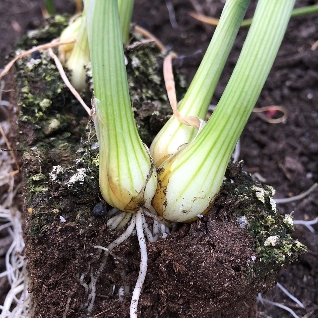 Tilth and Timber Onions