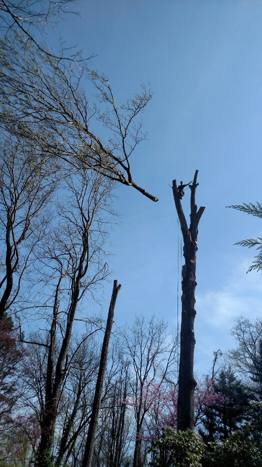 tree-removal-large-tree.JPG
