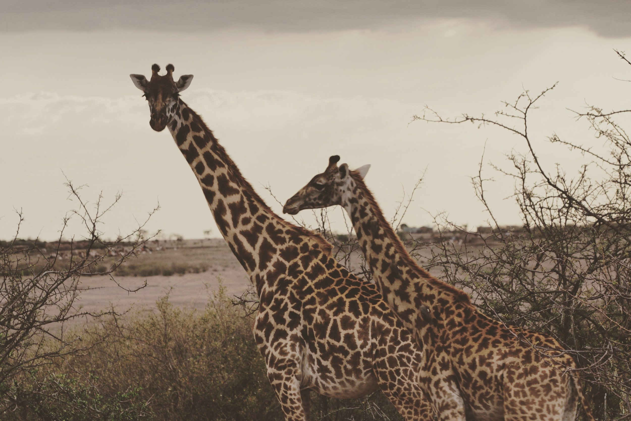 Two of our beloved giraffes stand in Nashulai, on the edge of a village. You cannot effectively separate humans and wildlife here in the Maasai Mara region; the only option is to learn to coexist and thrive together. -