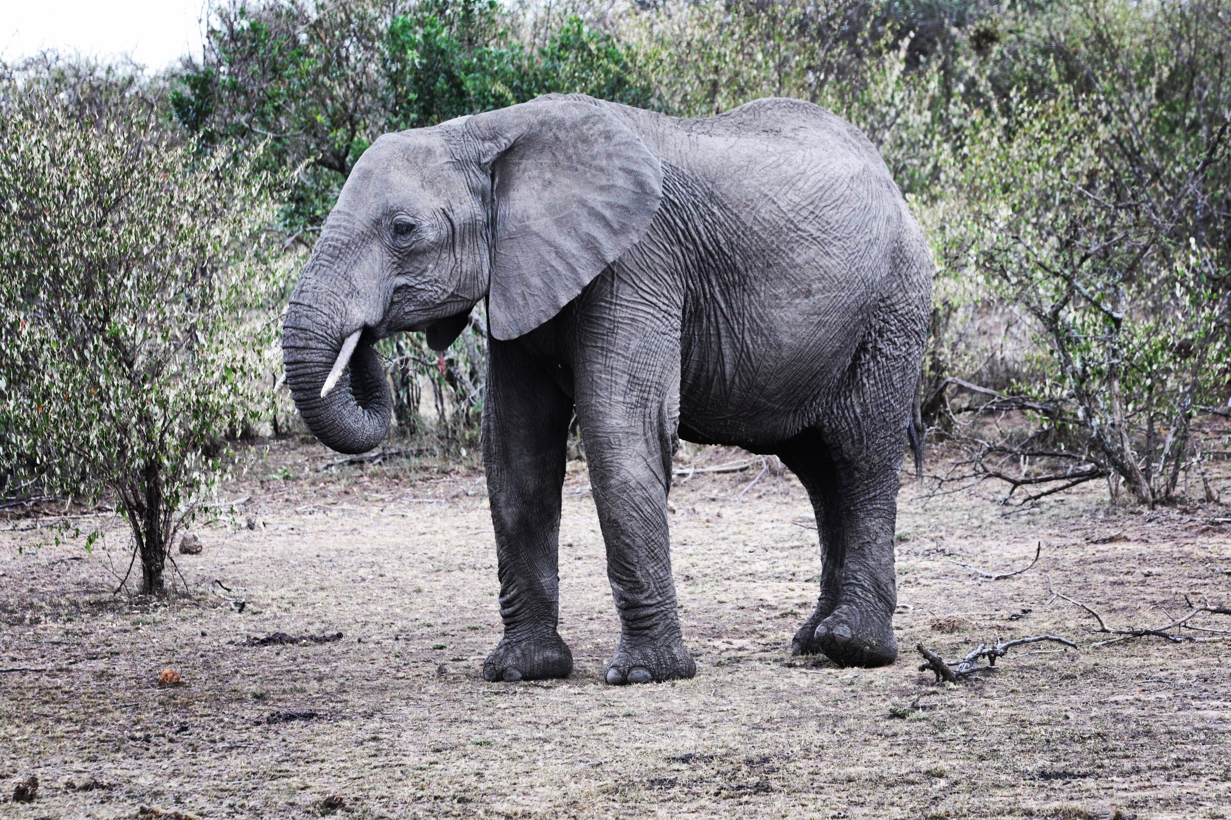 Elephants travel vast distances and teach their children the routes, paths, and traditions they themselves learned from their parents. Nashulai is a critical elephant birthing ground and ancient migratory corridor for the Maasai Mara elephant herds.