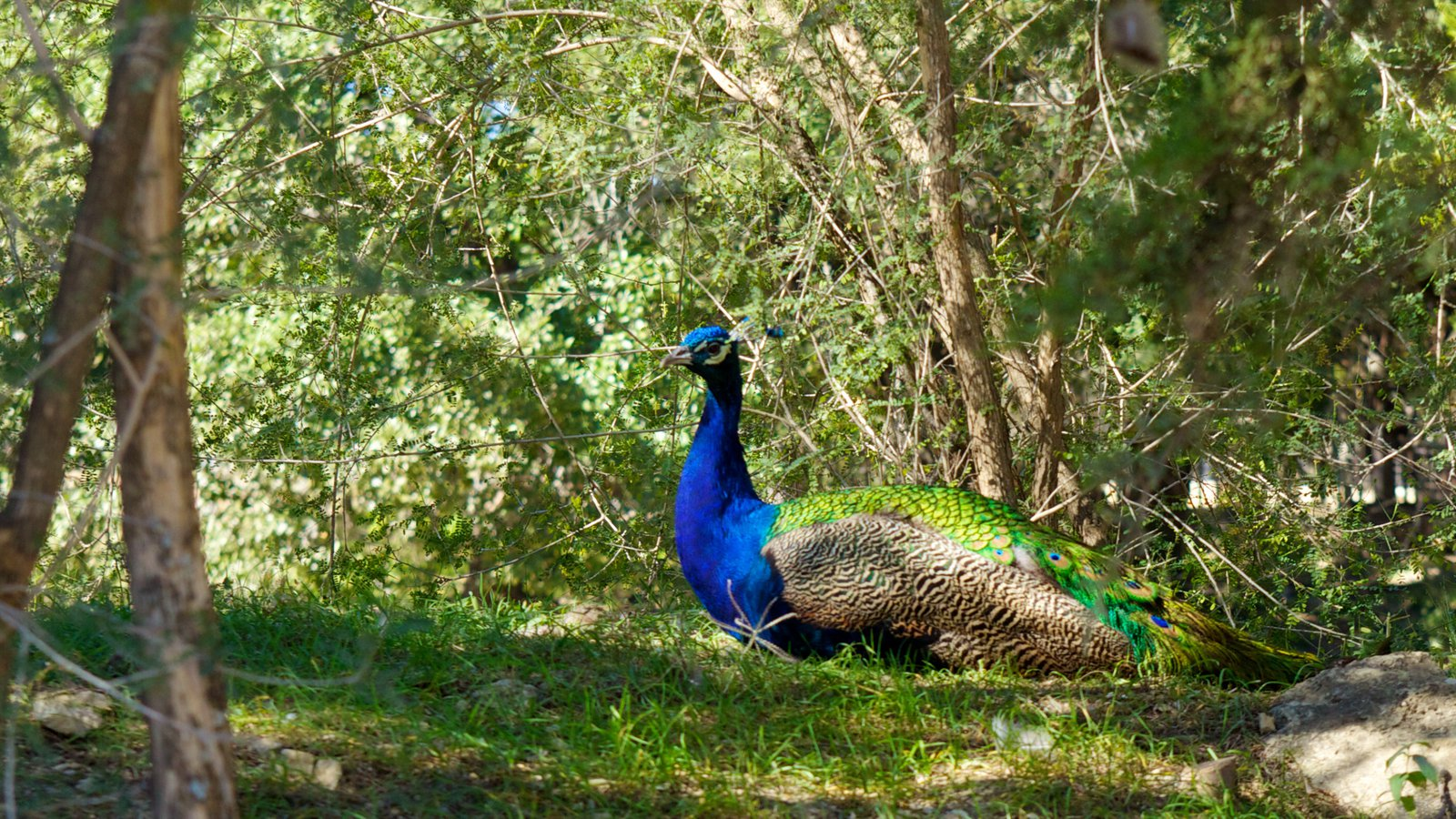 One of the many roaming peacocks at The Austin Zoo