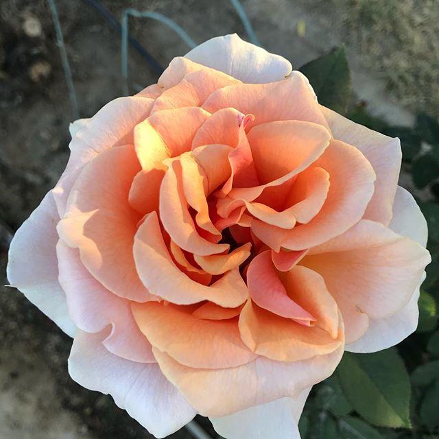 #nofilterneededforthisbeauty #rosesofinstagram