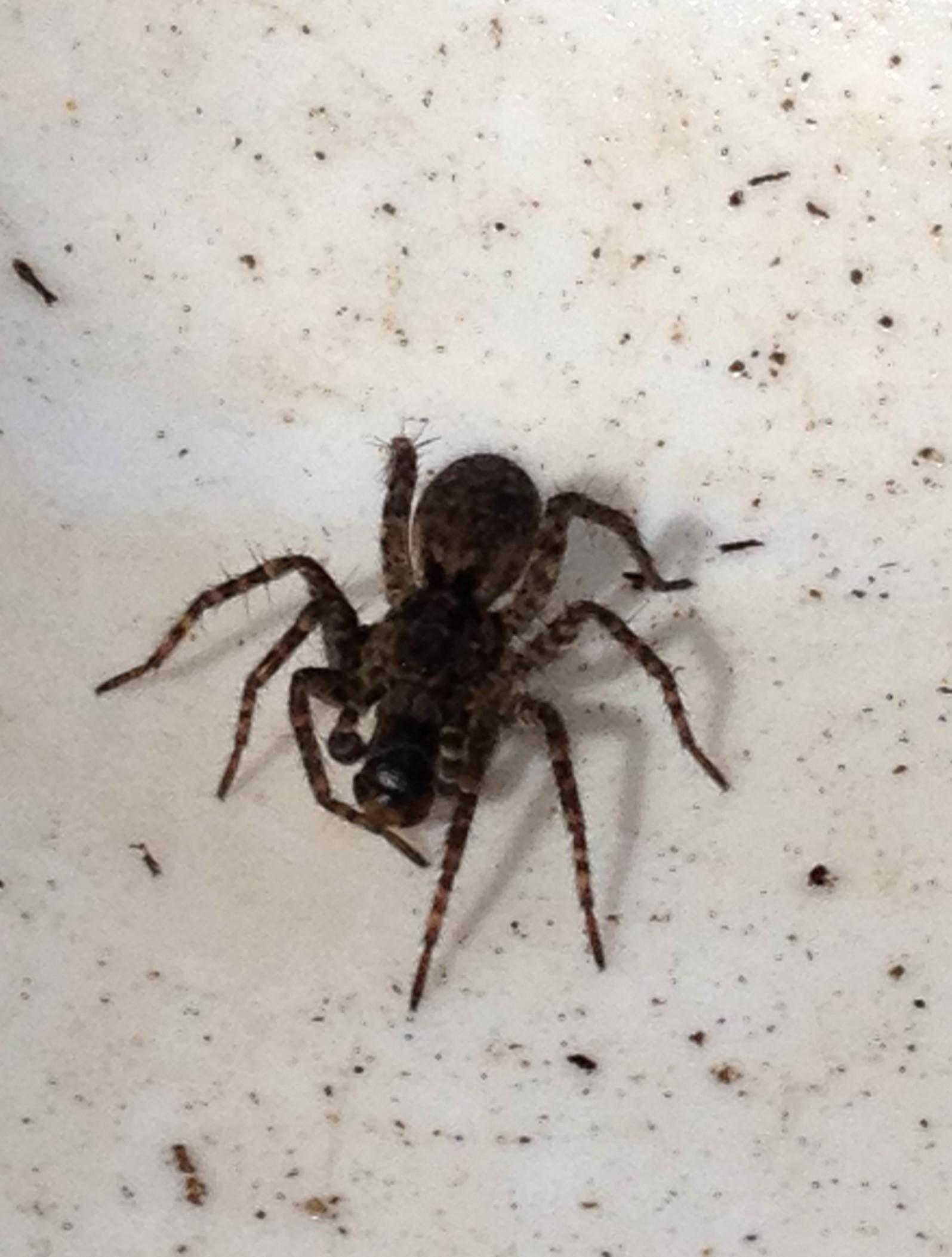 11 spring migrant spider predation.JPG