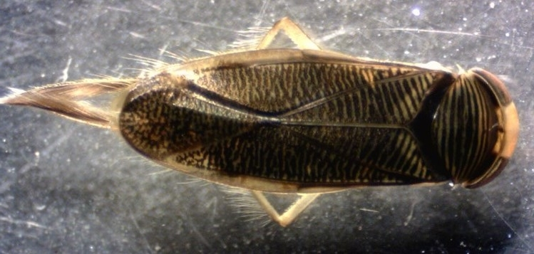 1 Callicorixa audeni.jpg