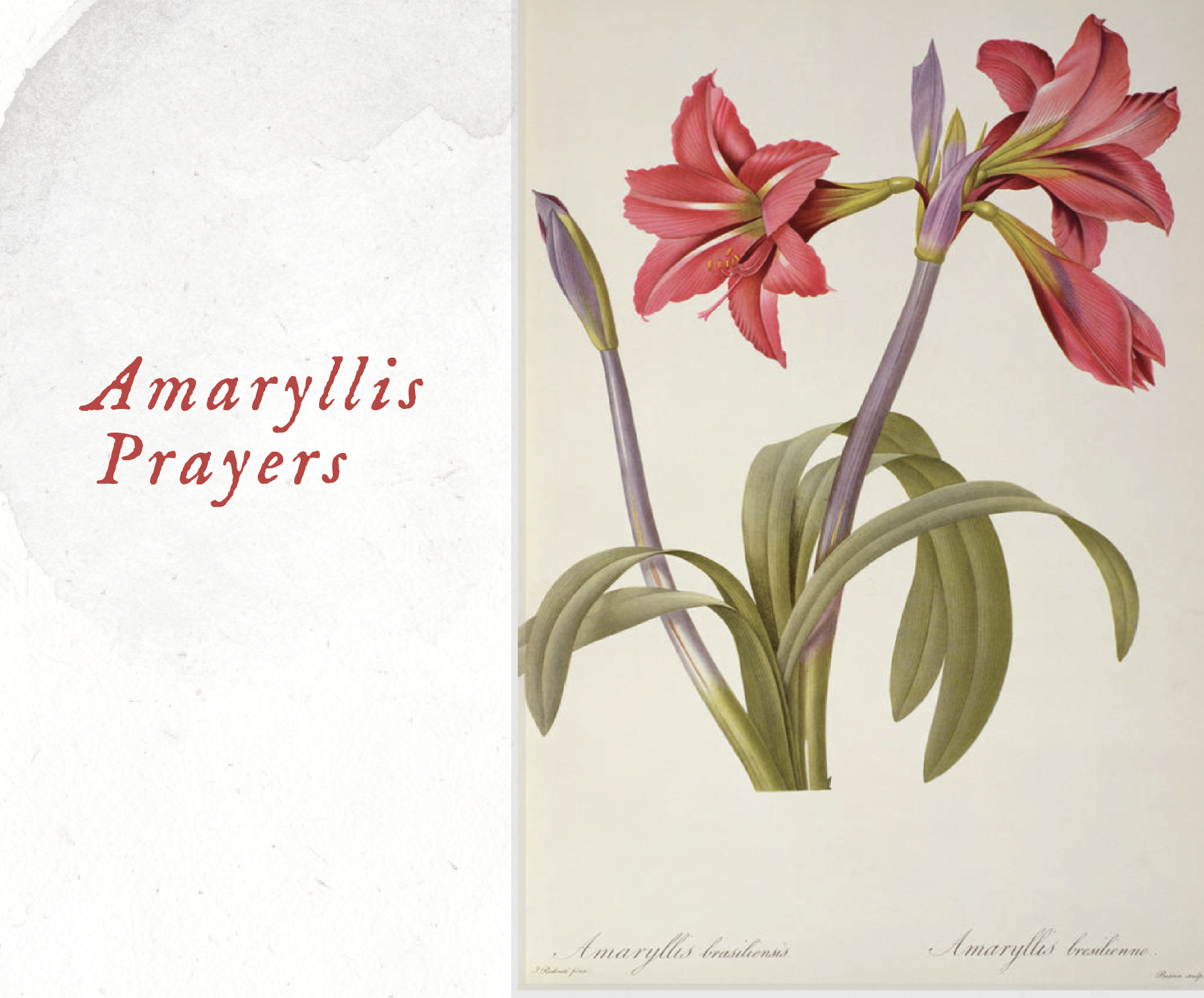 Amaryllis Prayers, Kristin Hill, WithYou Ministries