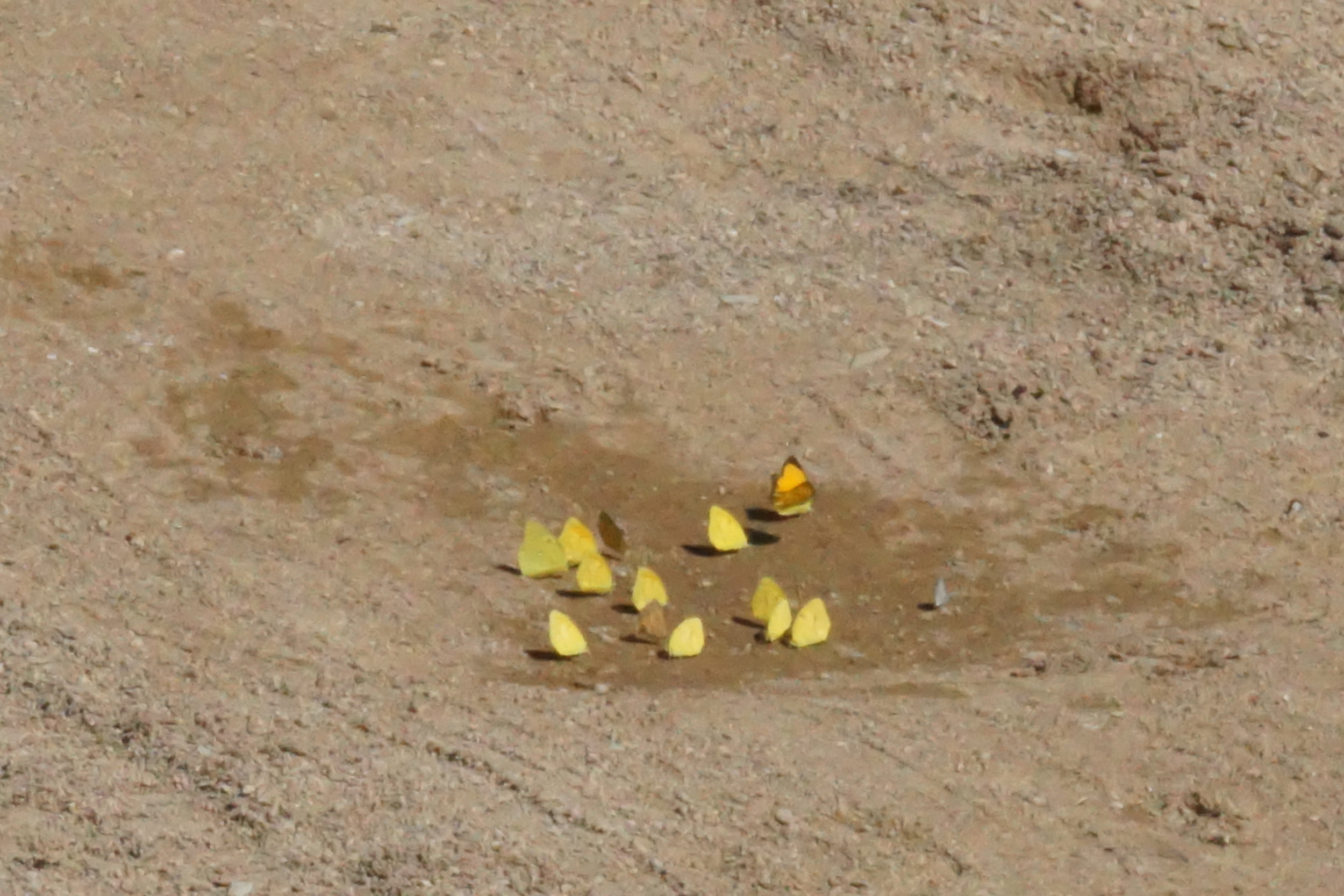 Flock of yellow and one blue butterfly at the wet spot near the windmill and tank