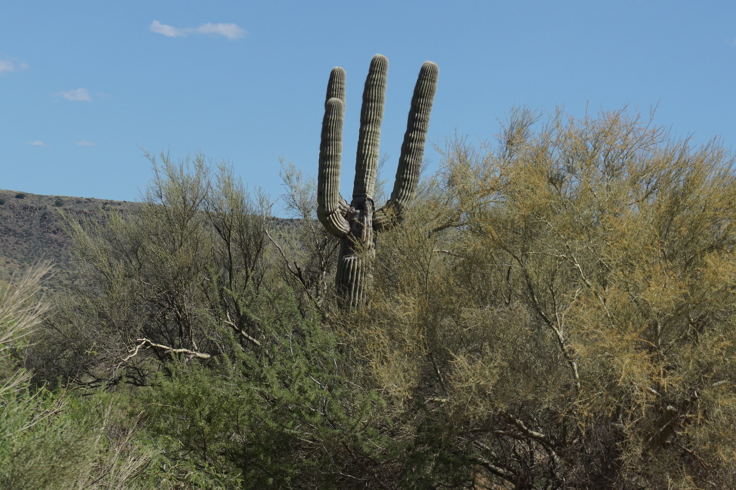 One of the few saguaros in this area.  Mostly ocotillo and palo verde trees