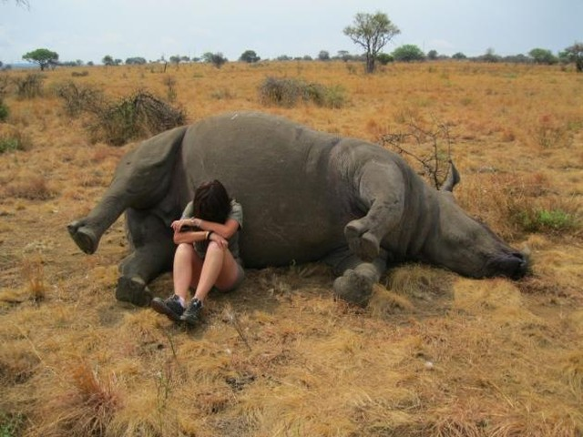 """Lynne MacTavish, who is operations manager at Mankwe Game Reserve, finds herself sitting by the white rhinoceros Winnie and is absolutely mortified and in tears at what's happened to the beautiful creature. Winnie, you see, is the latest victim of animal poachers who wanted her horn. """"All rhinos out in the wild are easy pickings,"""" Carder told the Dereham Times. """"Six were killed in the last week and often it is done in a horrific way.""""They try not to use guns, so they don't alert anti-poaching units and instead they use a machete and paralyse them before cutting the eyes so the rhino can't see. """"After that, they use a chainsaw to remove the horn. Many times the rhino is left alive."""" It paints an awful image in the mind, doesn't it? According to Save the Rhino, 1,028 rhinos were poached in 2017. That's a drop on the 1,054 killed in 2016, but as Save the Rhino rightfully suggests, it's not a time to celebrate. The fact that any rhino is being killed in such cruel circumstances is horrible - let alone reaching a 1,000-plus per year. 😥😡 Read - http://www.ladbible.com/news/animals-feels-news-devastated-woman-sits-with-poached-white-rhino-20180819"""