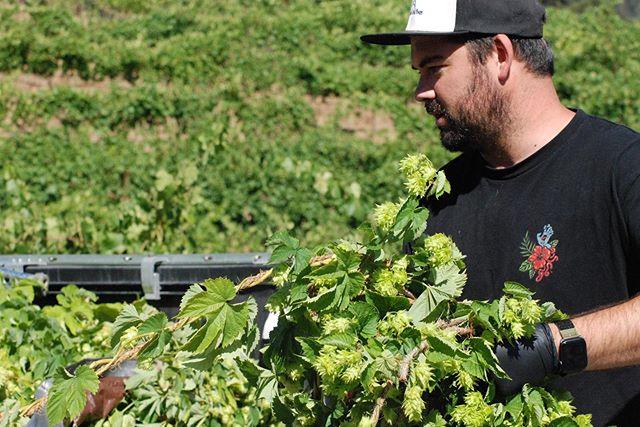 #hopharvest #harvestseason #localhops #freshhops #norcalhopgrowersalliance #pickinghops #sonomacounty #craftbeer #originbeers @madfritzbrewing