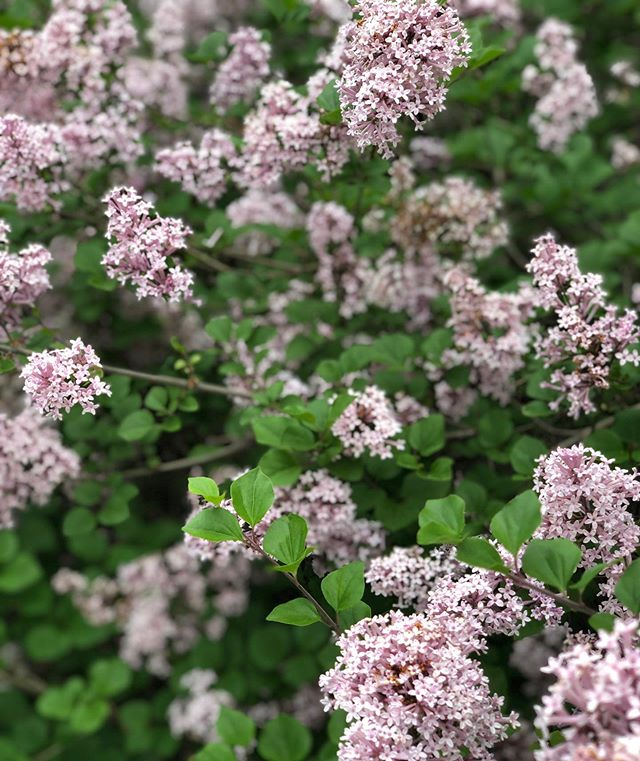 Obsessed with my lilac bushes. 🌸  #WellnessWednesday #WayBackWednesday #WisdomWednesday #HumpDay #WednesdayFeels #WednesdayMotivation #WednesdayWords #WednesdayGrind