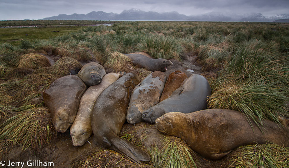Elephant Seals are forming their big wallows as they moult. Noisy, stinking places they are nevertheless very amusing to watch.
