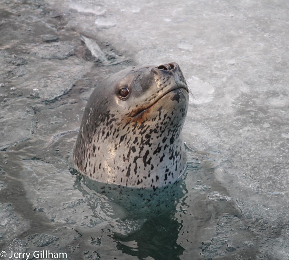 Leopard seals can be identified by their unique markings. This one has a spot roughly in the shape of Africa just below his bottom lip. I've compared it to a few photos of other leps that have been about but it doesn't seem like a regular visitor.