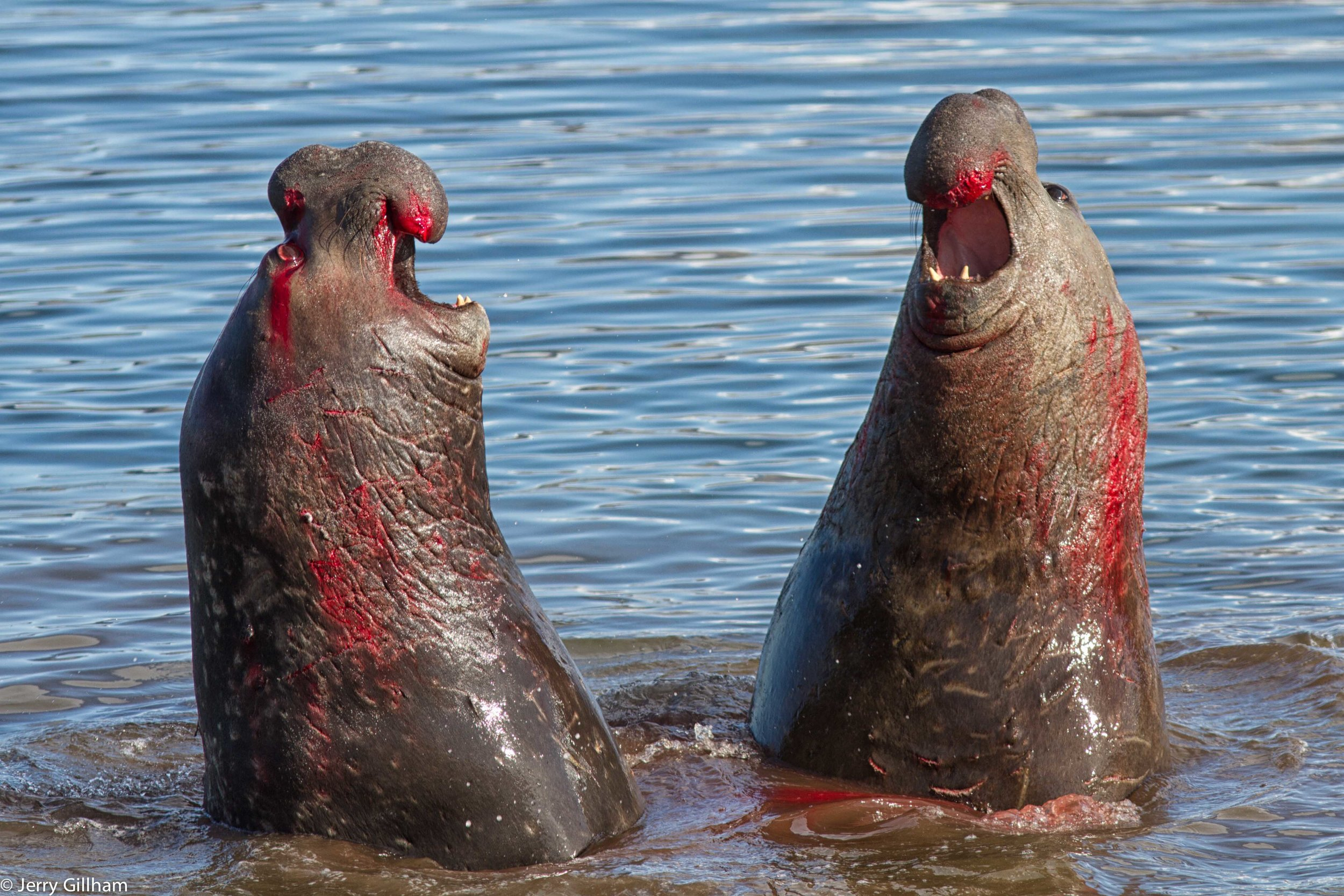 Then that afternoon I was just chatting to Paula in the dining room when we both noticed these two big bull elephant seals facing off outside the window. Normally it's all an act with them, the smaller one quickly realises it's not worth getting involved in a scrap and backs off, but these two were pretty evenly matched and it became clear both were intent on claiming this patch of beach for themselves.