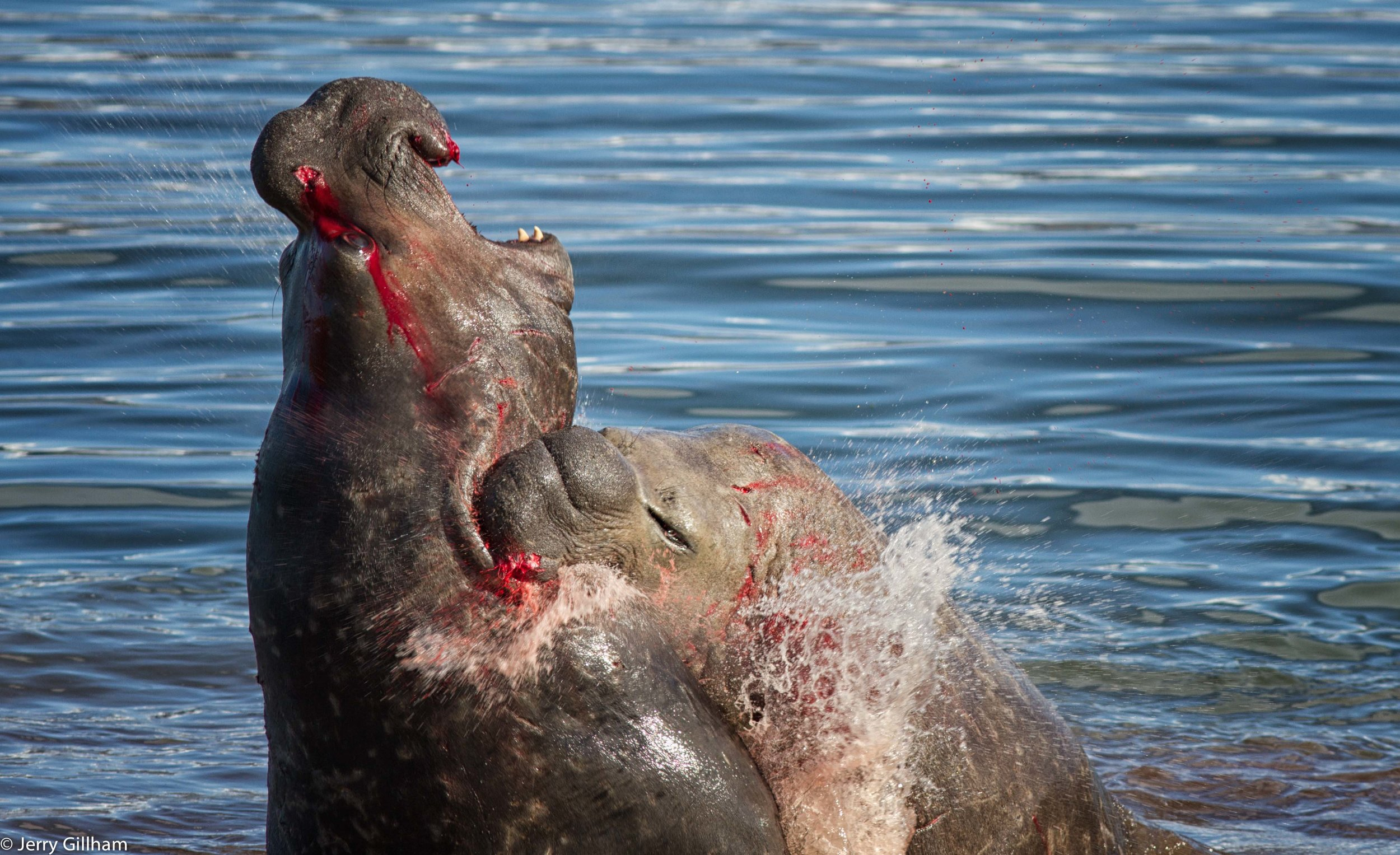 They reared up facing each other, if they'd been on the shore they'd have towered well over me, then slammed into each other, trying to grab a mouthful of skin and blubber around the neck with which to pull their opponent down. The noise of them clashing as well as the redness of the blood (extremely high in haemoglobin for all those deep dives) on them and colouring the water was extremely visceral.