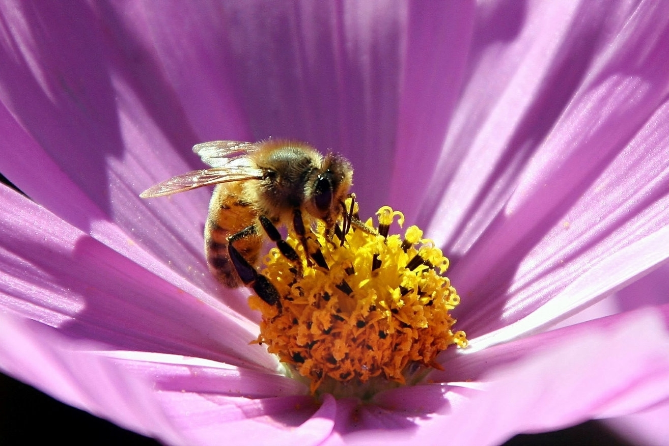 blume Bee Secret #16 - Ciao Bee! The most common type of honeybee in the US is the Italian honeybee. They became popular because they were very good producers and resistant to most bee diseases.