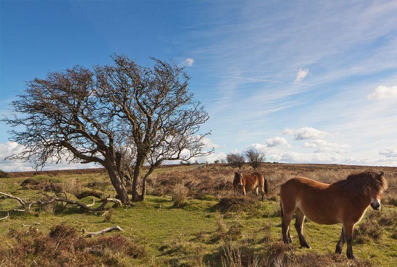 exmoor-ponies.jpg