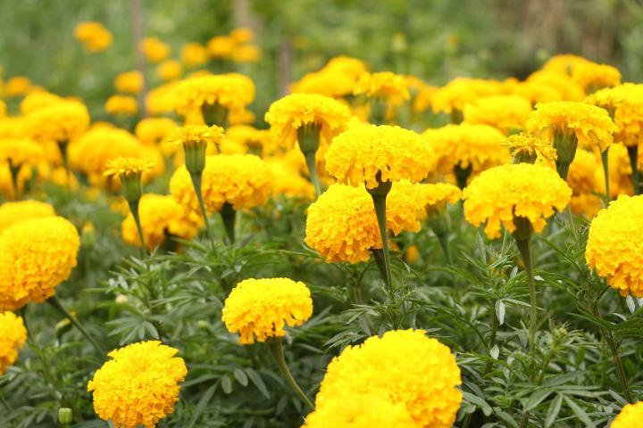 marigold-yellow_full_width.jpg