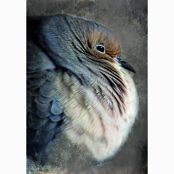 Unknown Photograph of a Mourning Dove, Zenaida Macroura (Linnaeus, 1758)