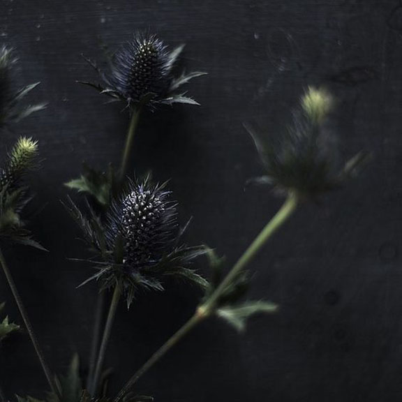 Unknown Photograph of Thistles