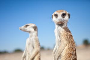 Meerkat 300 (1 of 1).jpg