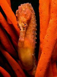 Hippocampus reidi. Photo by Melissa Rushby/Guylian Seahorses of the World.