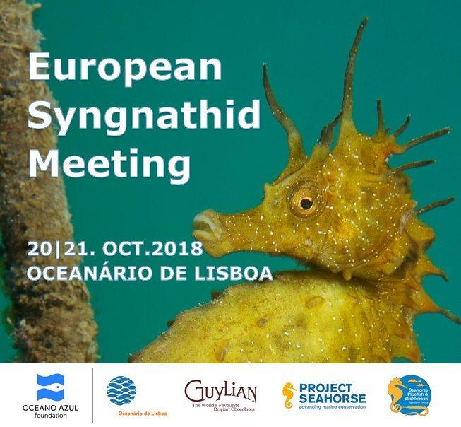 Hippocampus guttulatus  (Long-snouted seahorse).  Photo by Roberto Strafella / Guylian Seahorses of the World 2016.