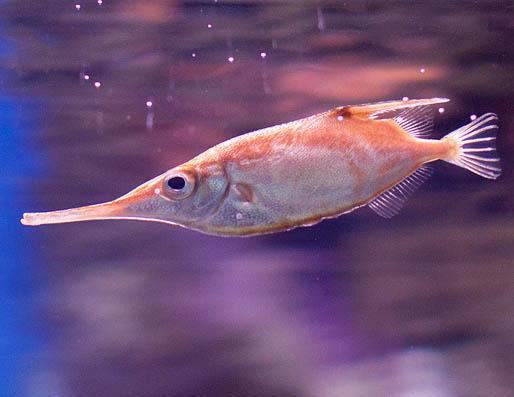 snipefish_macroramphosus-scolopax11.jpg