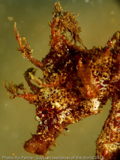 Short-snouted seahorse  (H. hippocampus).  Photo by Rui Palma / Guylian Seahorses of the World.