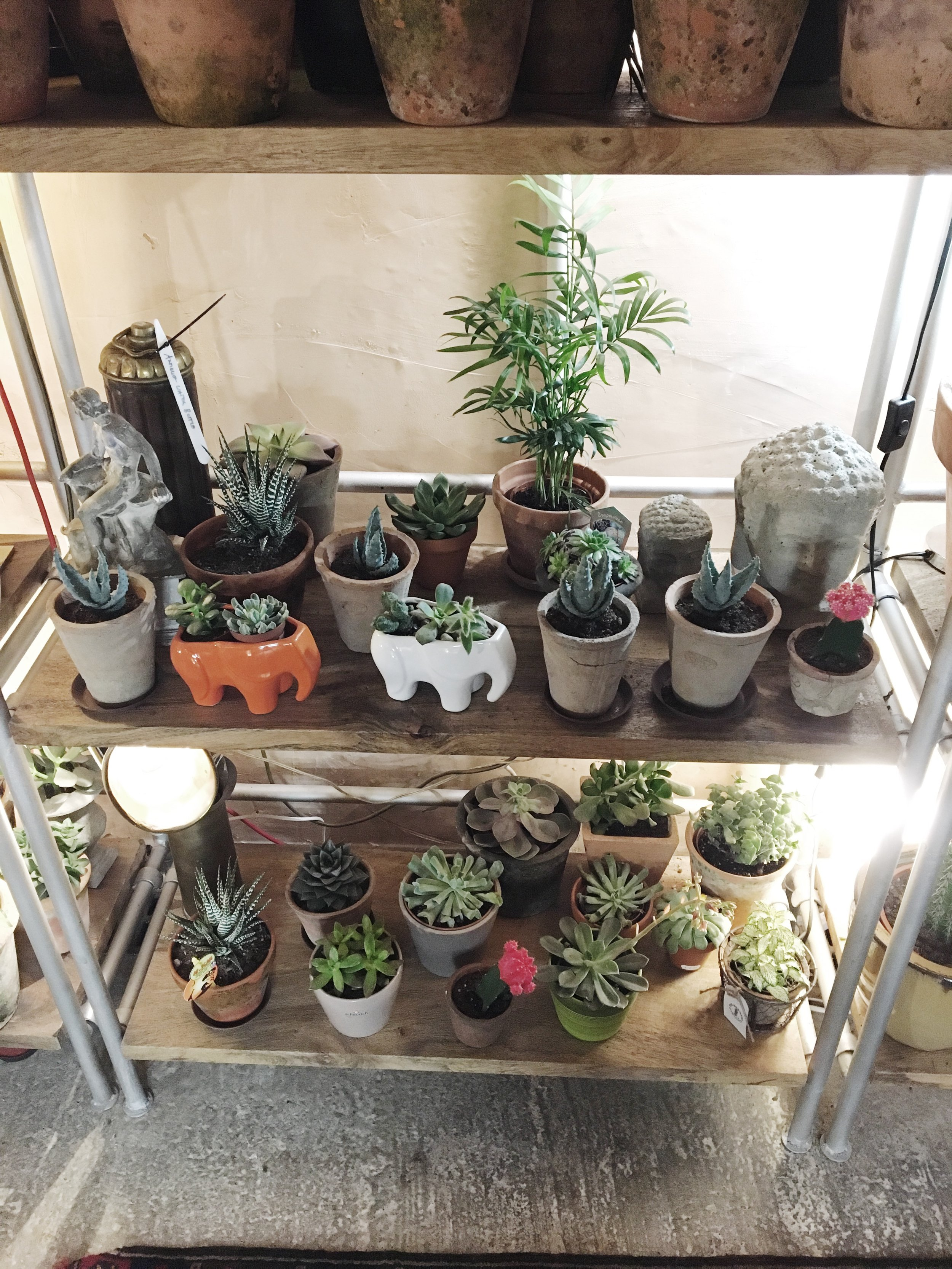 My favourite shelves - the cacti and succulents