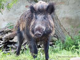 A Tuscan Pig gives a serious glance