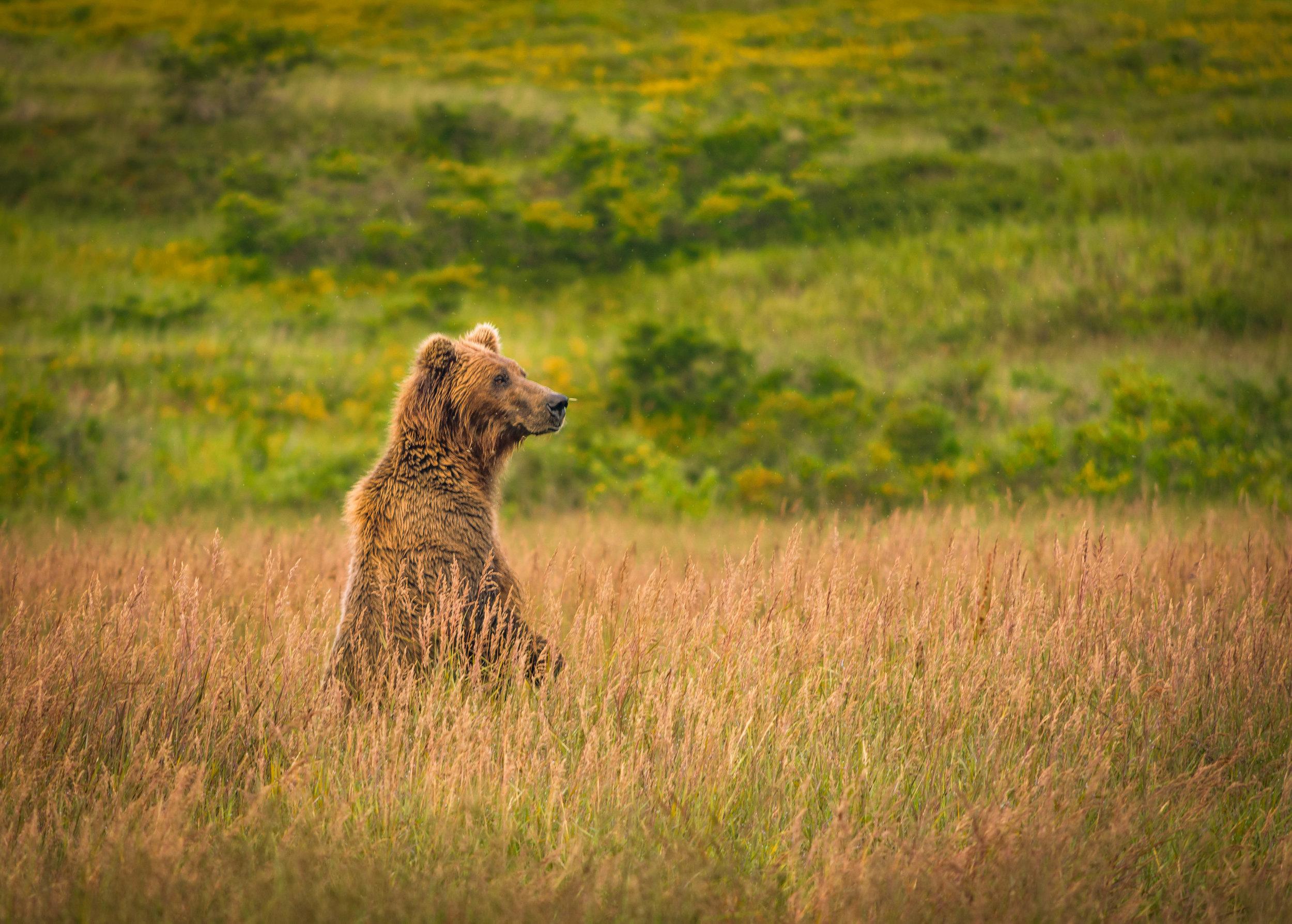alaska - bear in field-0471.jpg