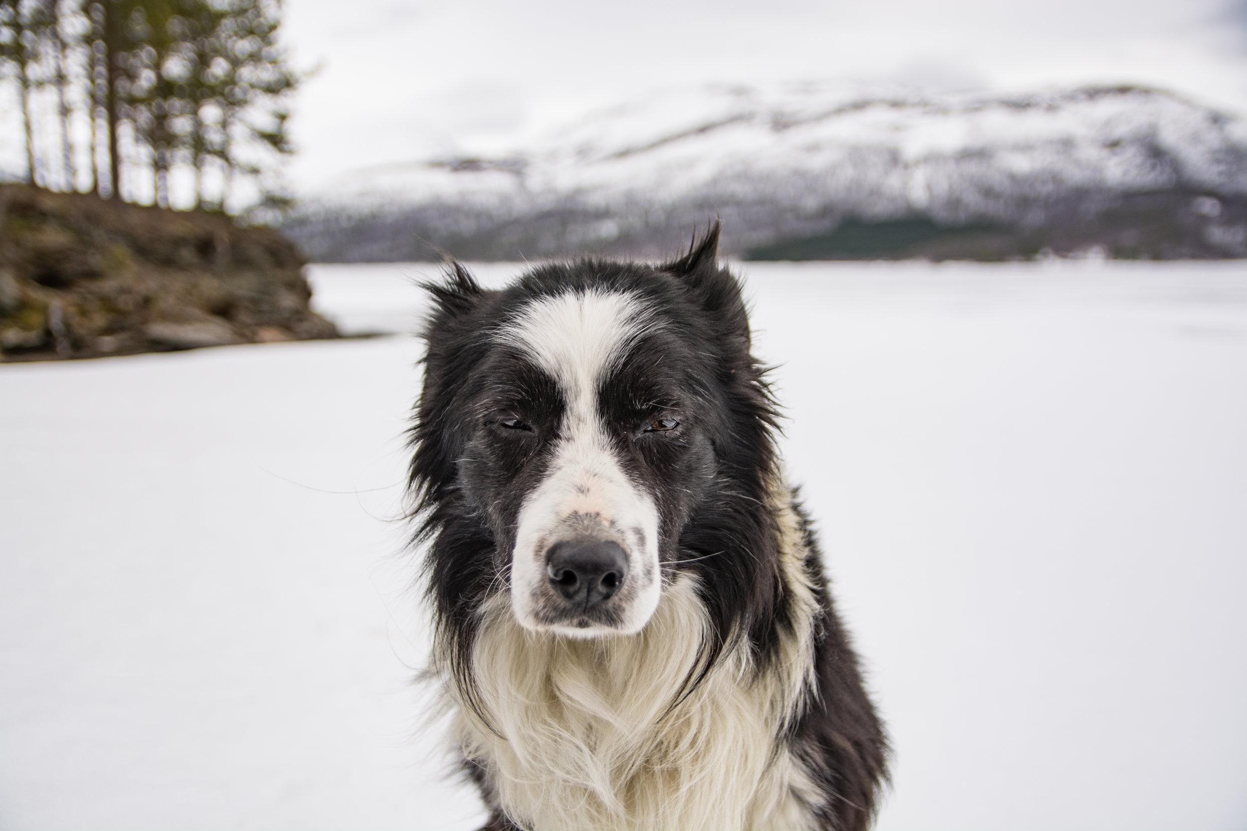 Norskhund