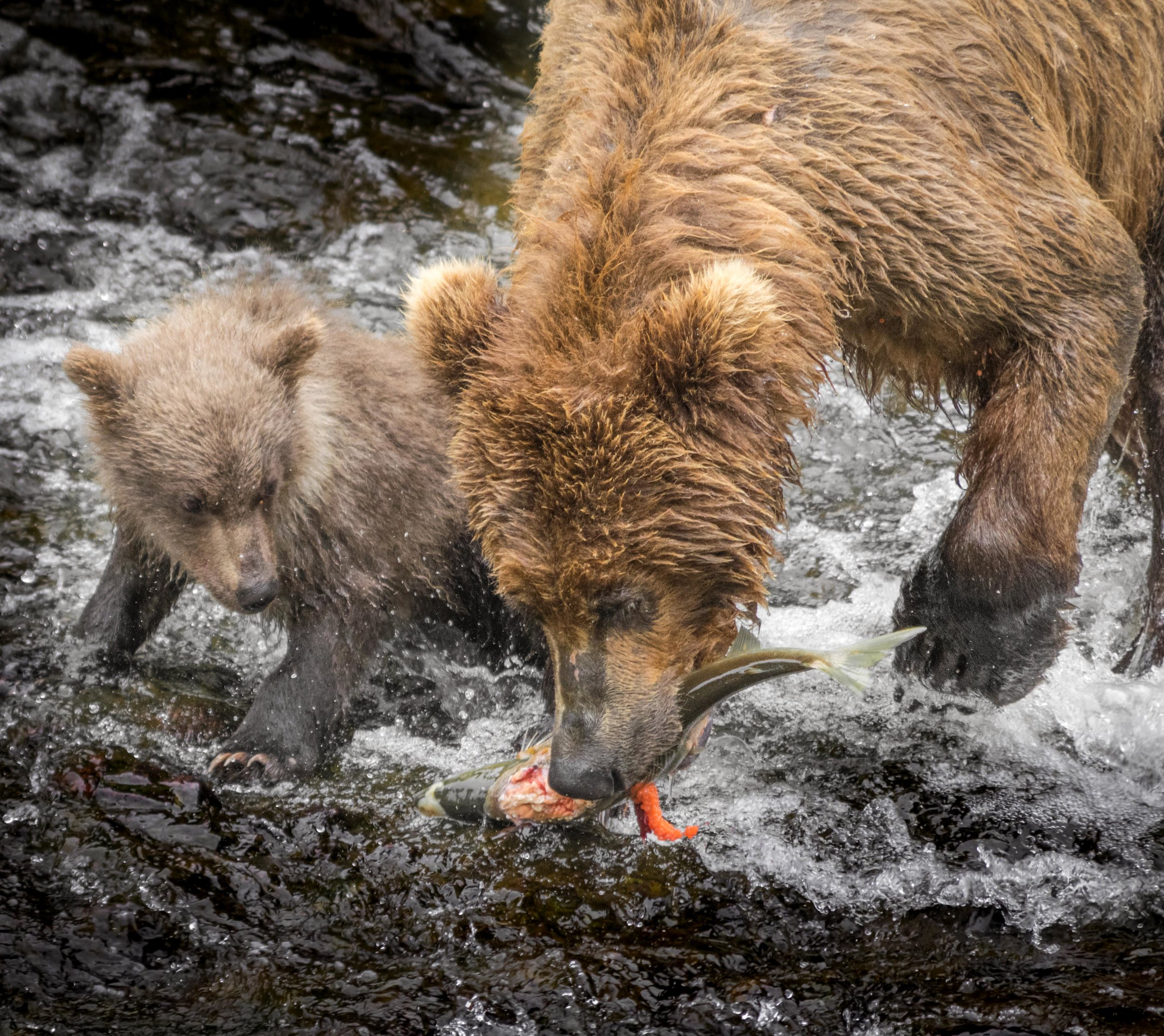 Grizzly Dinner