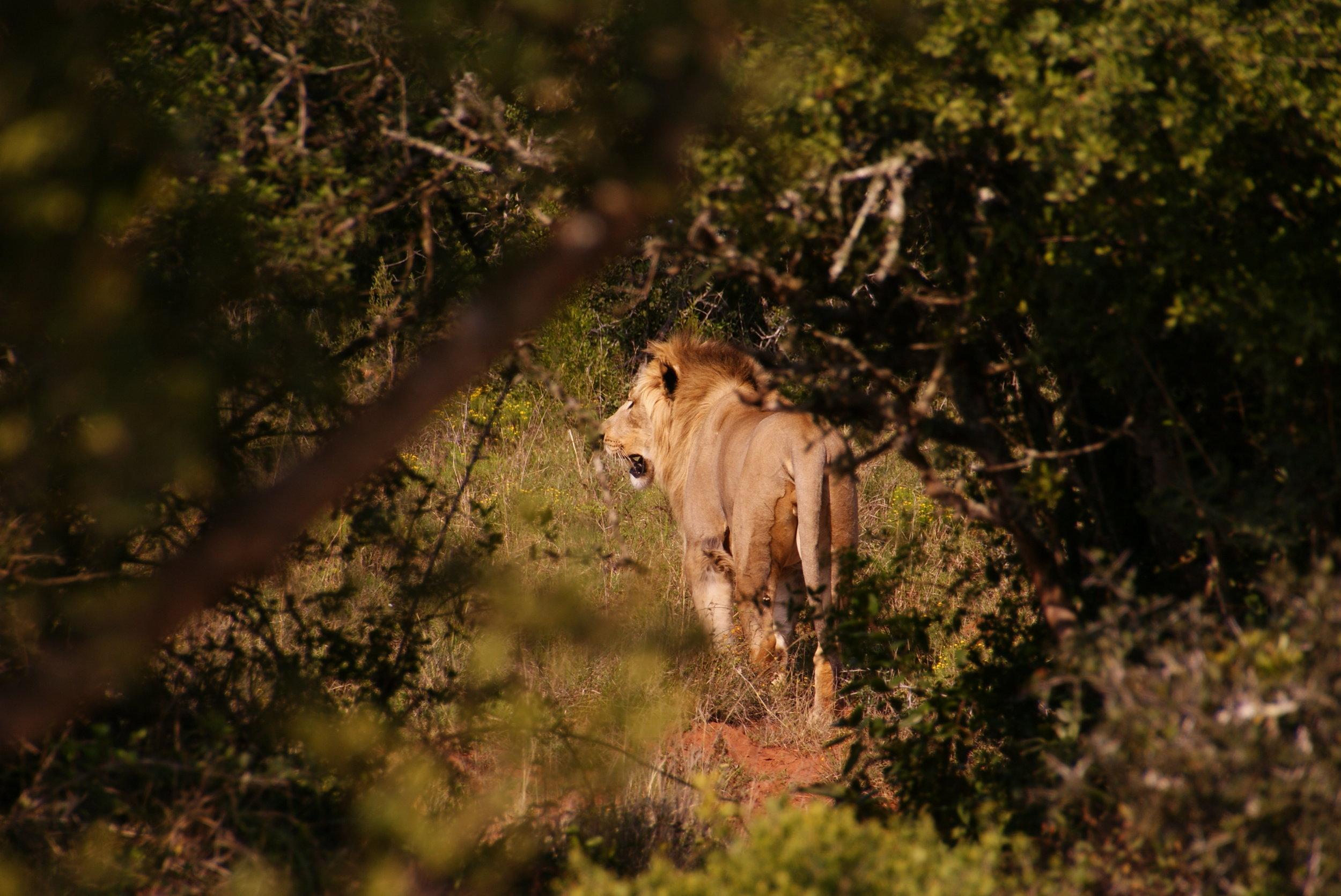 Leeuw door de bosjes