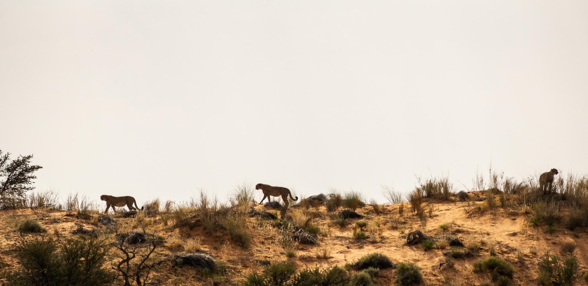 3 cheetahs op de duinen