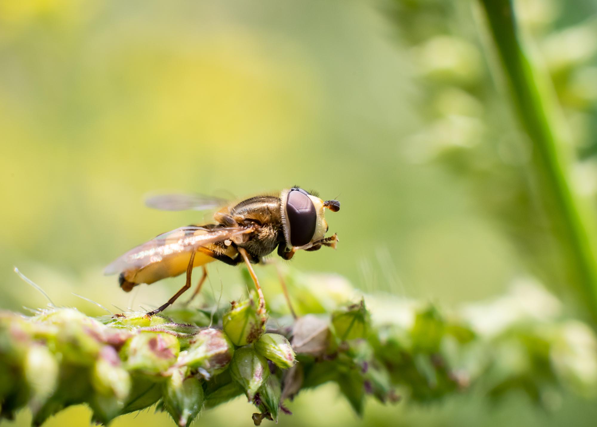 vergroting van 1,25 gemaakt met een 50mm lens met 55 mm aan tussenringen. Dit insect is zo'n 5 mm groot!