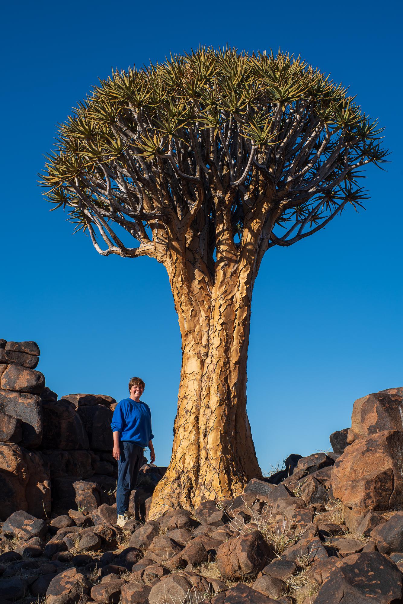 De grootste kokerboom