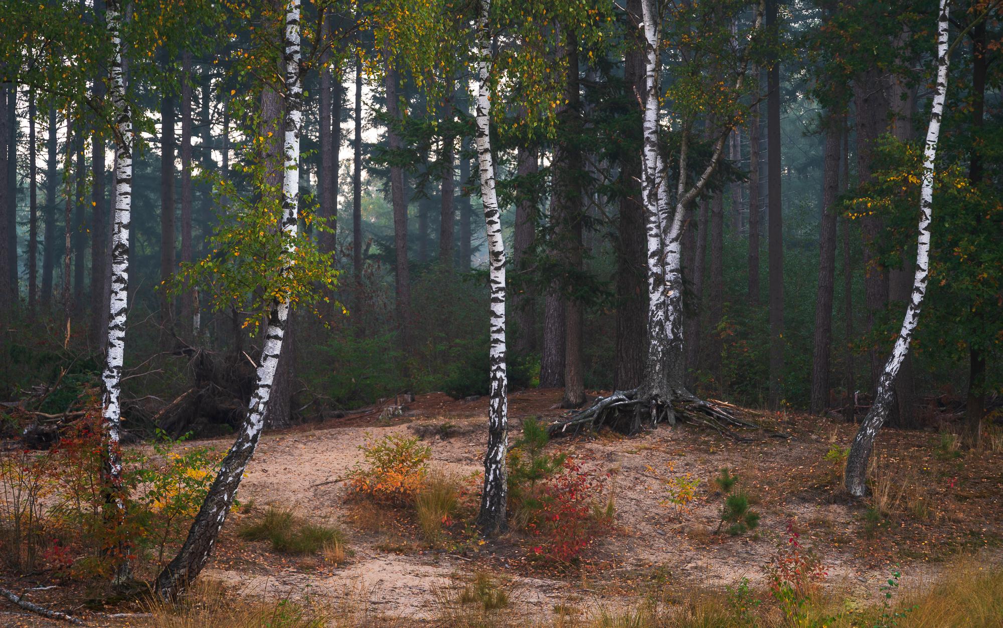 Berken in een dennenbos, Leusden